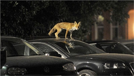 The Plight Of The Urban Fox