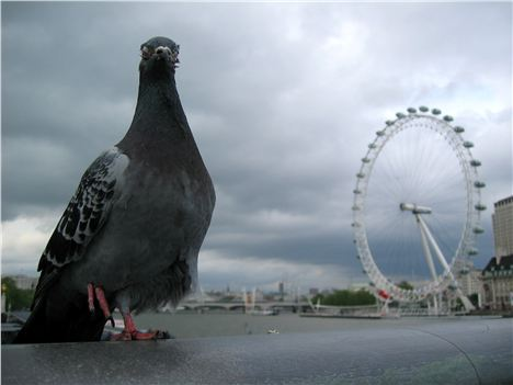 London_Eye_Pigeon