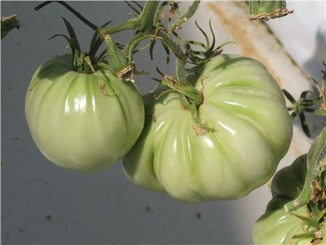 Tomatoes Just Before Ripening